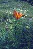 Lilium bulbiferum ssp. croceum