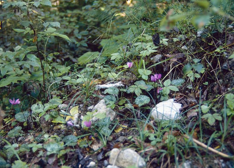 habitat of Cyclamen purpurascens (syn. C.europaeum)