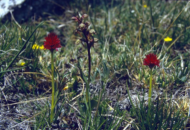 Nigritella rubra and Coeloglossum viride, (NL: rode vanilleorchis en groene nachtorchis)
