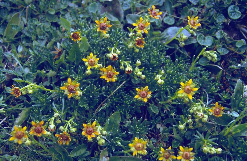 Saxifraga aizoides, dark coloured form