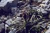 Saussurea pygmaea