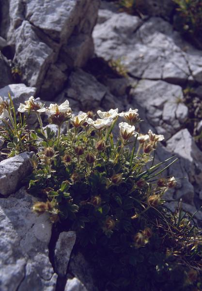 Potentilla clusiana (Kleine Mittagskogel 2200m)