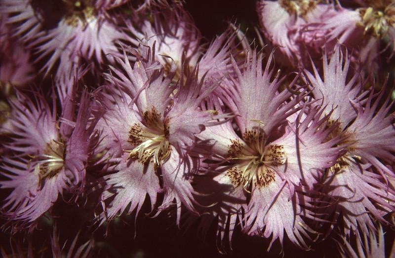 Dianthus monspessulanus ssp. waldsteinii