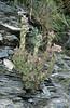 Sempervivum tectorum (La Brique, Roya Valley)