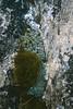 Saxifraga diapensioides (Lanslevillard)