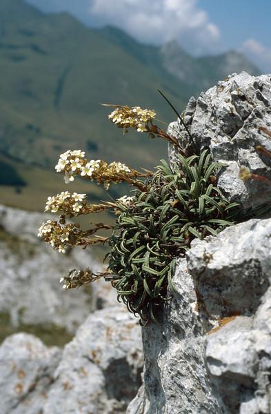 Saxifraga callosa ssp. callosa var. callosa (Maurioun, Val de Cairos, Roya Valley)