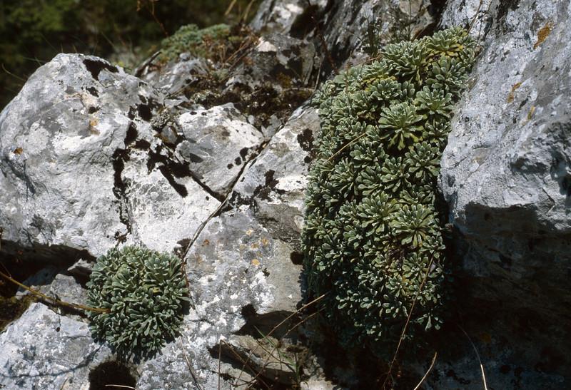 Saxifraga callosa ssp. callosa var. australis (Maurioun, Val de Cairos, Roya Valley)