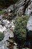 Saxifraga callosa ssp. callosa var. australis