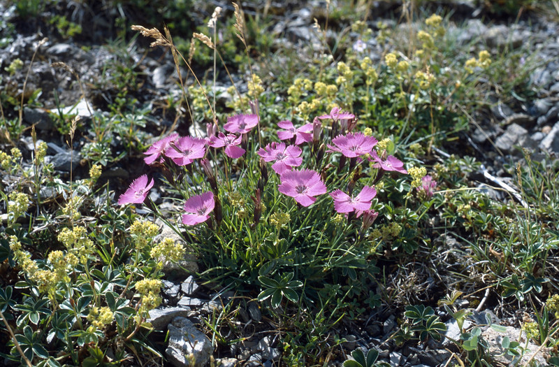 Dianthus pavonius (Maurioun, Val de Cairos, Roya Valley)