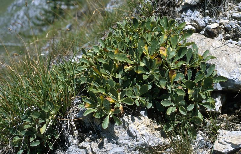 Primula marginata (Col de Tende)