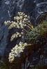 "Saxifraga callosa ssp. callosa var. callosa (syn. S. lingulata ""Bellardii"") (Col de Tende)"