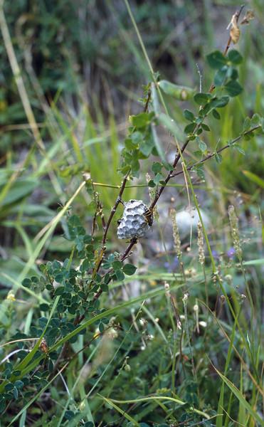 Polistes gallicus (NL: Gallische wesp)