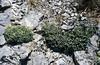 Saxifraga callosa ssp. callosa var. australis  (Roya Valley)