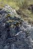 Saxifraga cochlearis (Val de Cairos, Roya Valley)