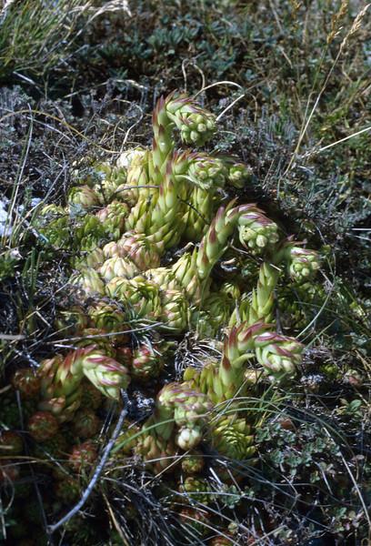 Jovibarba allionii (Col de Tende, Roya Valley)