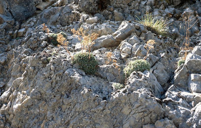 Habitat of Saxifraga cochlearis (Val de Cairos, Roya Valley)