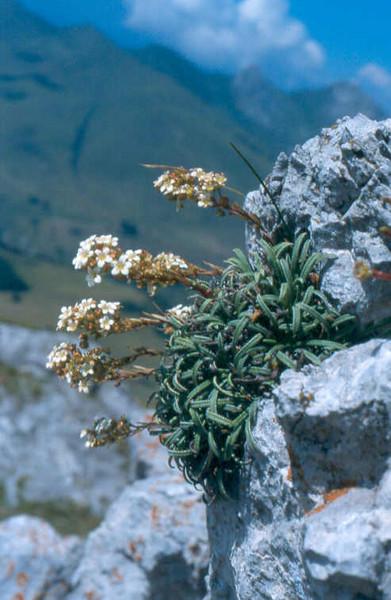 Sax.callosa var.australis Canyon de Verdon MA