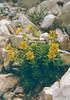 Sax.aizoides2Julische Alpen