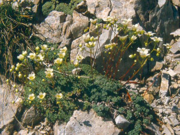 Sax.squarrosa S.caesia 1 Karawanken