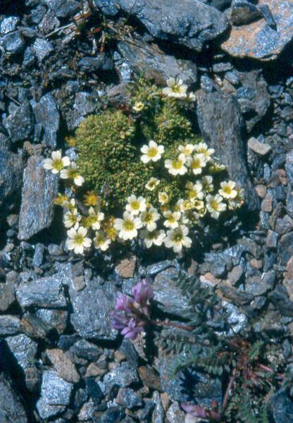Sax.muscoides Col de I'Izeran 2800mtr Vanoise Fr.