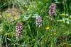 Orchis purpurea. Orchis militaris en O.purpurea X O.militaris1