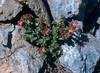 Sax.biflora 2 Col de I'Izeran 2800mtr Vanoise Fr.