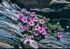 Sax.oppositifolia 2 Col de I'Izeran 2800mtr Vanoise Fr.