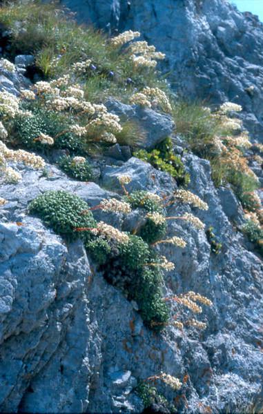 Biotoop Sax.callosa'Bellardii'Col de Tende-Italy MA