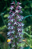 Orhis militaris X Orchis purpurea