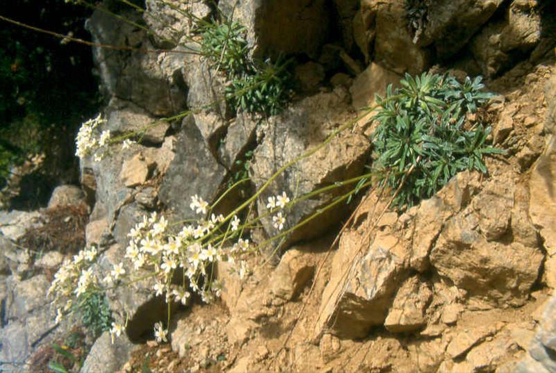 BiotoopSax.hostii subs.rhaeticaJudik.Alpen