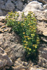 Sax.aphylla1Cadin Dolomieten