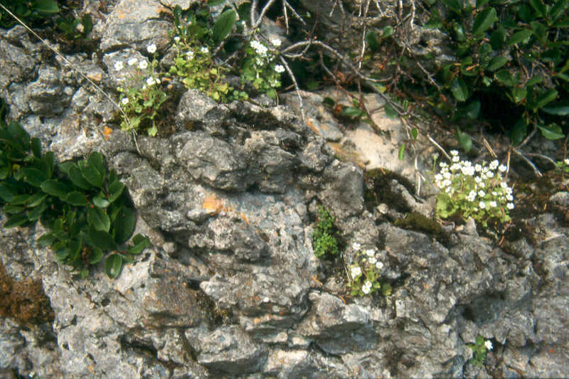 BiotoopSax.petraea Judik.Alpen