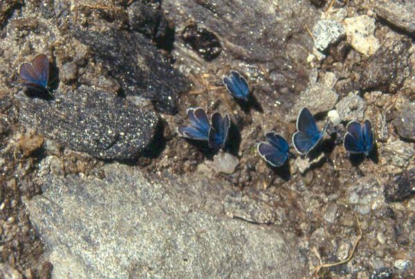 blauwtjes