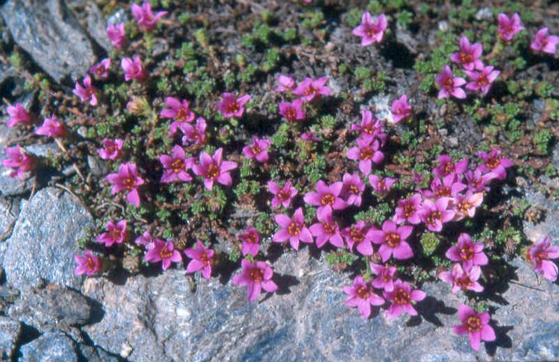 Sax.oppositifolia 1 Col de I'Izeran 2800mtr Vanoise Fr.