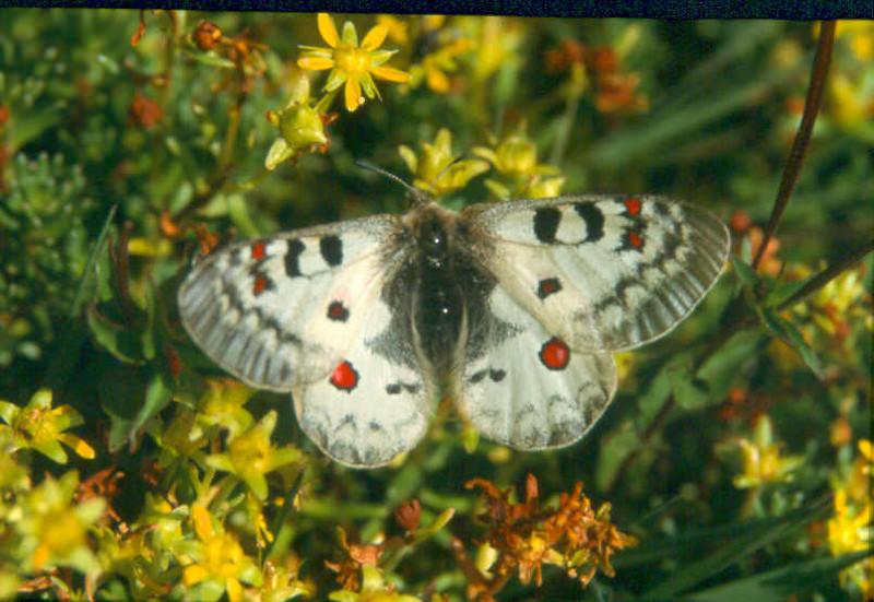 Close upSax.aizoides Parnassius phoebus sacerdos Stich1Vanoise