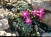 Sax.caesia2 zeer byzondere bloemBrenta