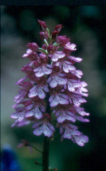 Orchis purpurea 1