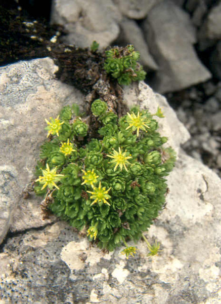 Sax.aphylla1Dachstein