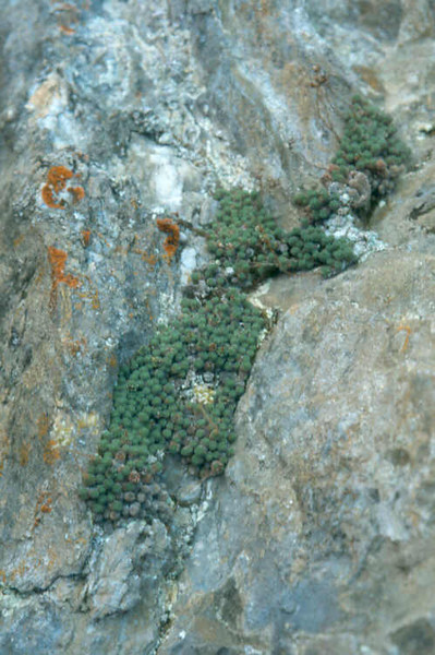 Sax.diapensioides 2 Vallee d' Averole 1800mtr.MA Fr.