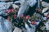 Sax.biflora 1 Col de I'Izeran 2800mtr Vanoise Fr.