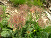 Geum montanum in seed