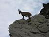 Capra ibex, Alpine ibex, (NL: steenbok)