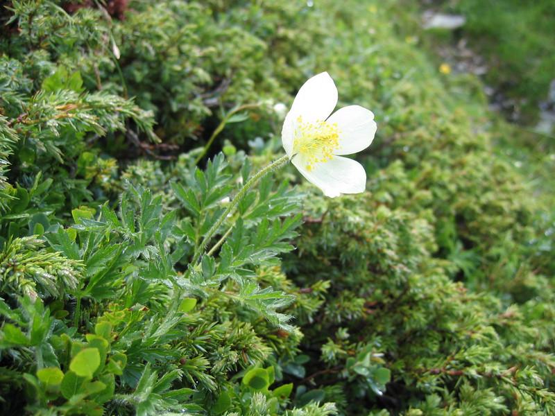 Pulsatilla alpina ssp.cottianaea