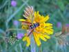 Allantus scrophulariae, (NL: bladwesp) (fam. Tenthredinidae)