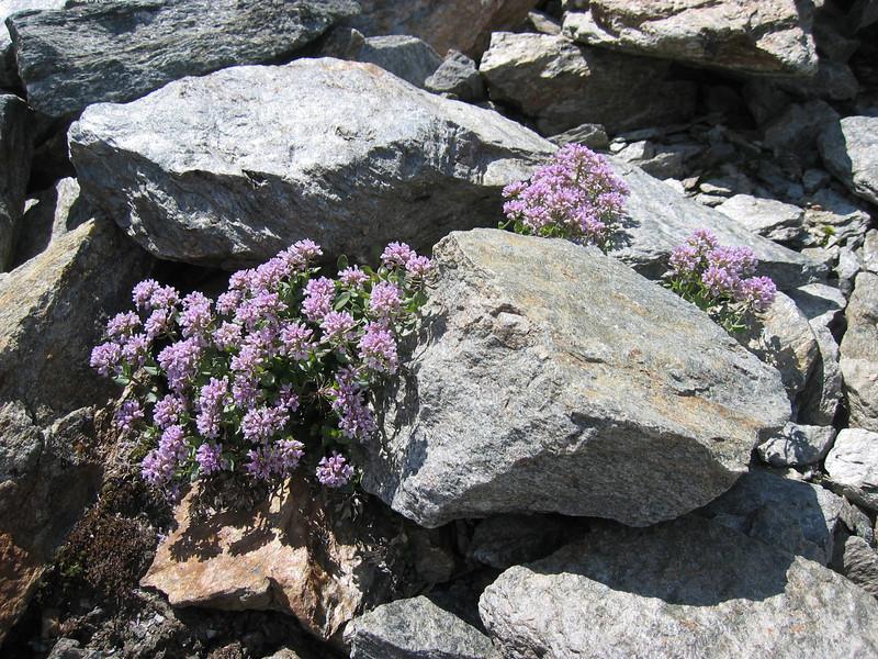 habitat of Thlaspi rotundifolium ssp. rotundifolium