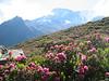 route: tour du Mont Blanc, habitat of Rhododendron ferrugineum