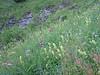 habitat with Lilium martagon, Rumex alpestris and Rhinanthus angustifolius