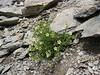 Saxifraga exarata ssp. exarata