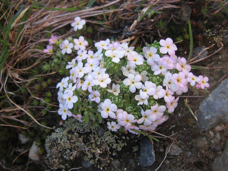hybride: Androsace pubescens X A. alpina