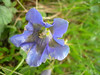 Gentiana acaulis (light coloured form)